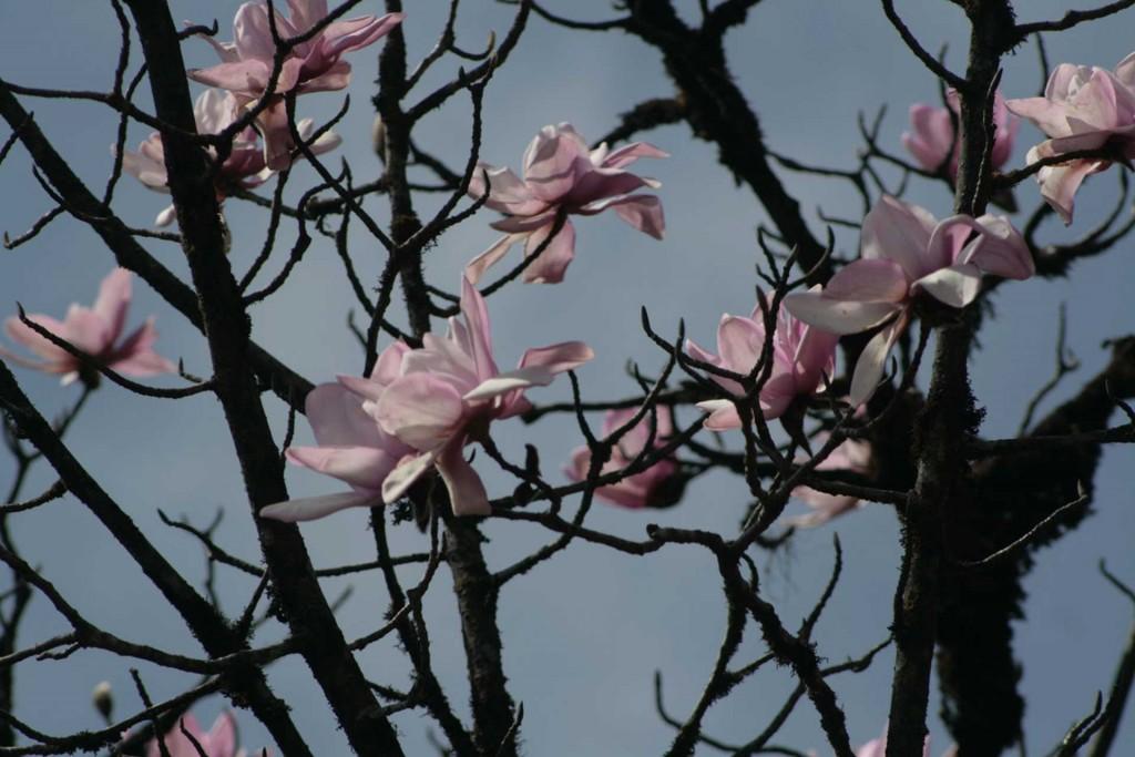 Magnolien gehören zu Sikkim
