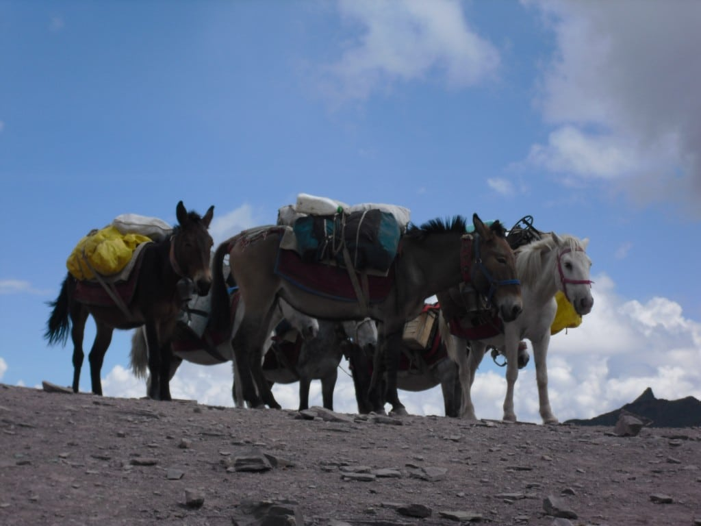 horses Ladakh