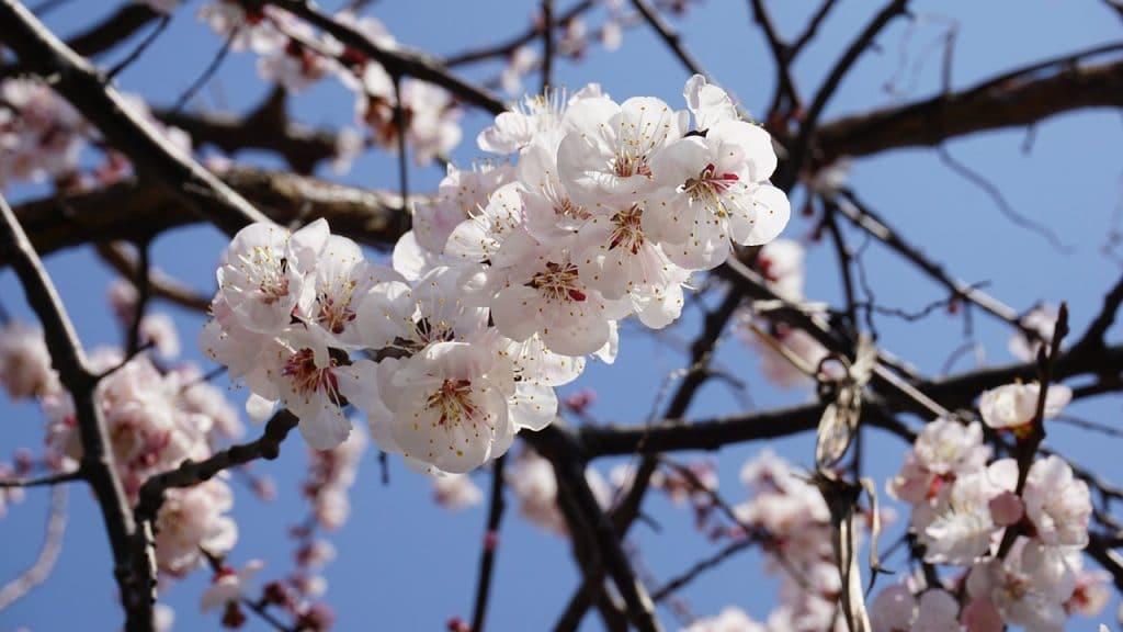 Die Aprikose ist die wichtigste Frucht Ladakhs